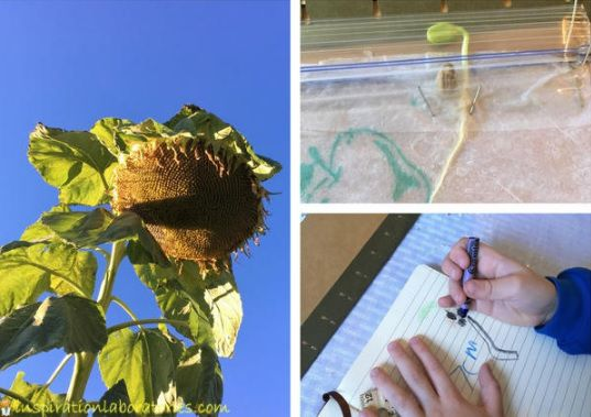 Observing Seed Germination in a Plastic Bag