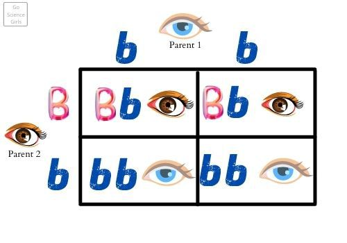 DNA Basics Genotypes And Phenotypes - Impact on eye color